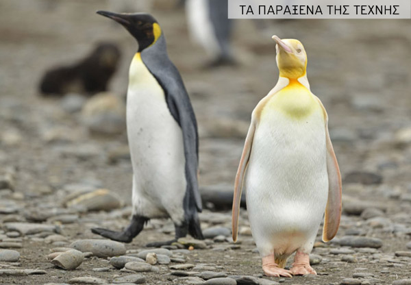 KNM_FIRST_EVER_YELLOW_PENGUIN